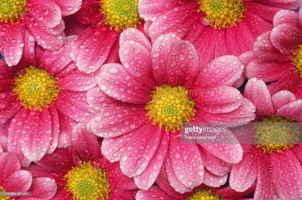 Dew on asters, close-up, spring : Stock Photo