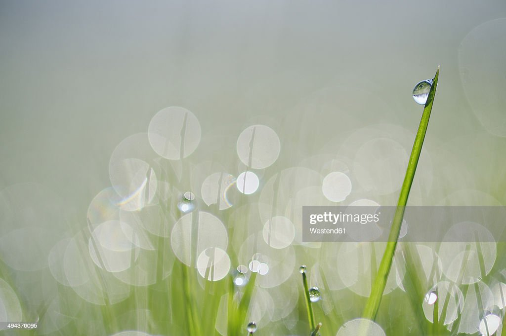 Dew on grass, close-up