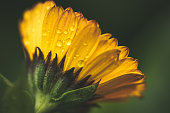 Dew on a yellow flower