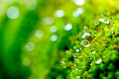 Dewdrops on the moss with bokeh