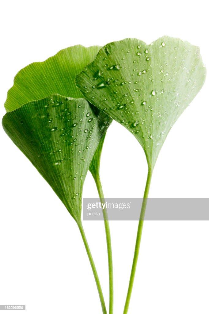 dewy ginkgo leaves
