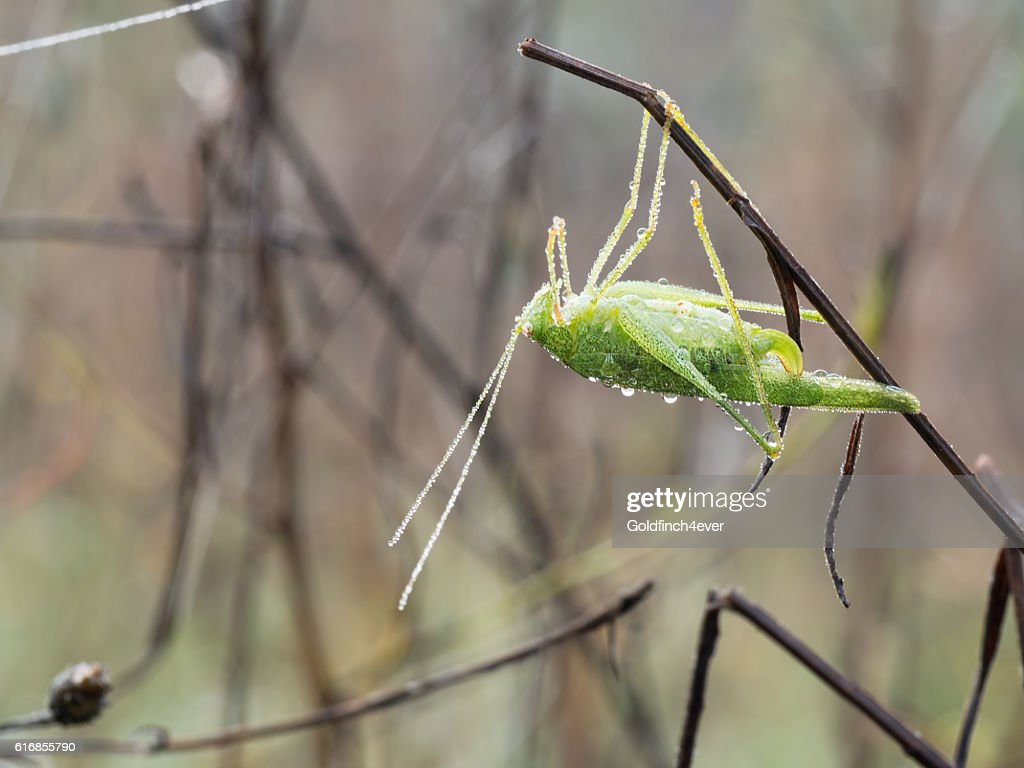 Dewy grasshopper in autumn. With dew. Fall in Italy. : Stock Photo