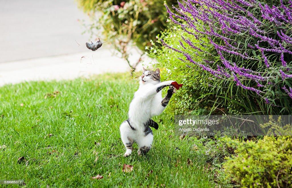 Dexter throws a mouse : Stock Photo