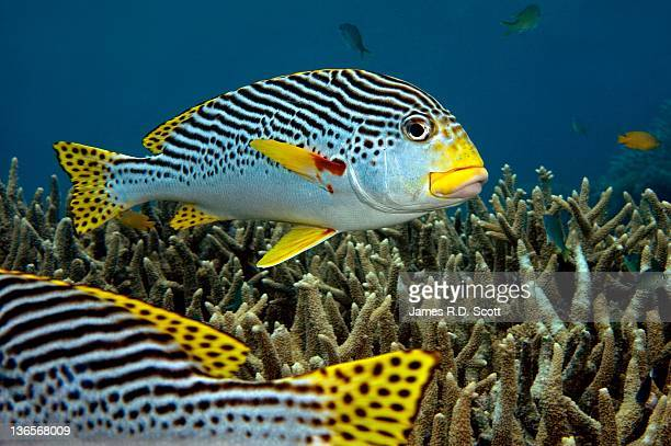 Diagonal Banded Sweet Lips in Great Barrier Reef