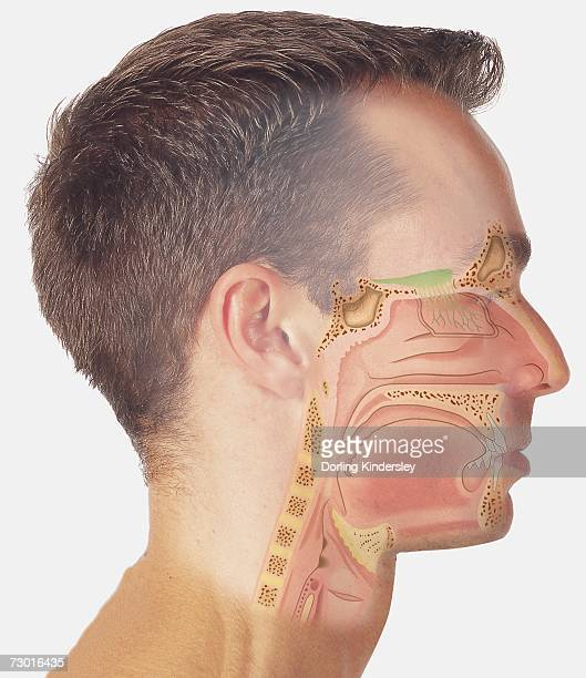 Male Throat Anatomy Stock Photos And Pictures
