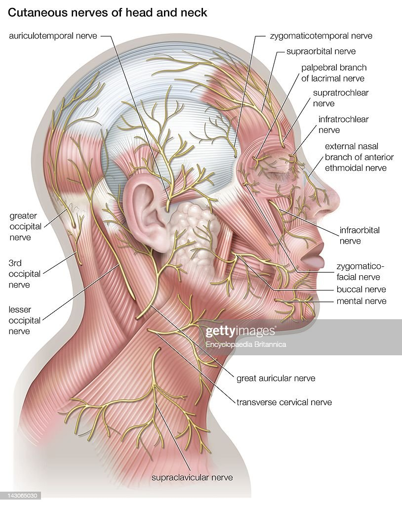 Diagram Of The Cutaneous Nerves Of The Head And Neck. Pictures ...
