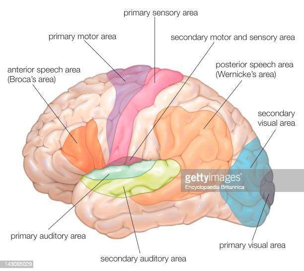 Diagram Of The Lateral View Of The Human Brain Showing The Functional Areas