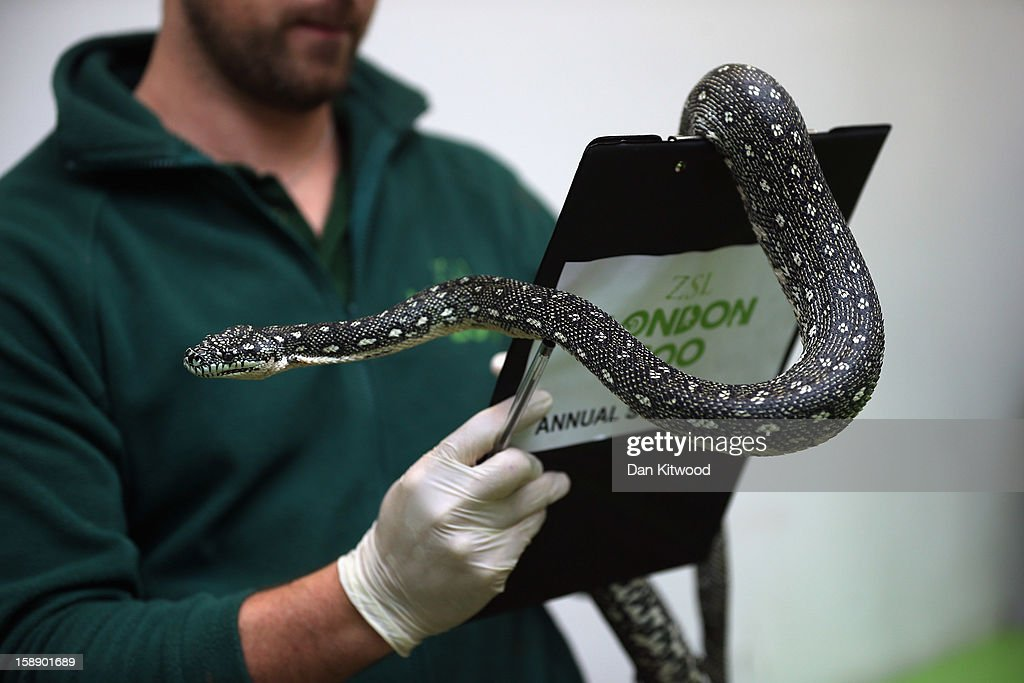 A Diamond Python is held during London Zoo's annual stocktake of animals on January 3, 2013 in London, England. The zoo's stocktake takes place annually, and gives keepers a chance to check on the numbers of every one of the animals from stick insects and frogs to tigers and camels.