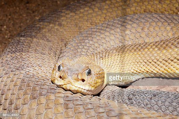 Diamondback Rattlesnake Crotalus ruber Baja California Mexico
