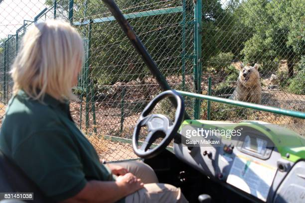 AUGUST 14 Diana Bernas head of animal care at AlMawa reserve stops as the bear 'Balou' comes to interact as Diana drives the Lioness who arrived from...
