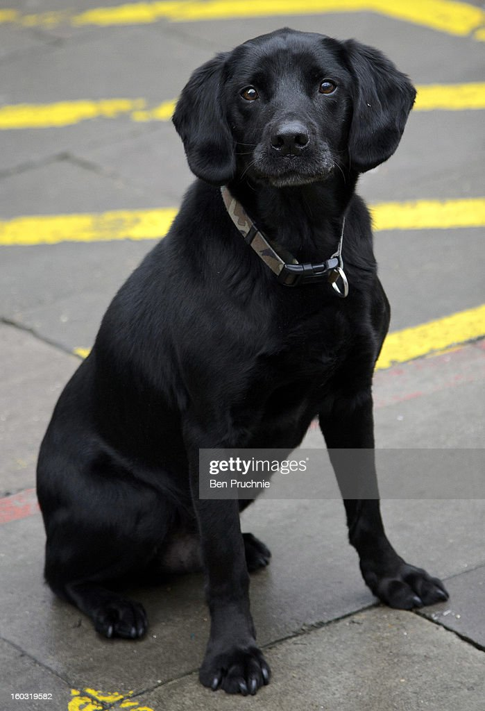 Dickin Medal winning military dog Treo sighted arriving at ITV Studios on January 29, 2013 in London, England.