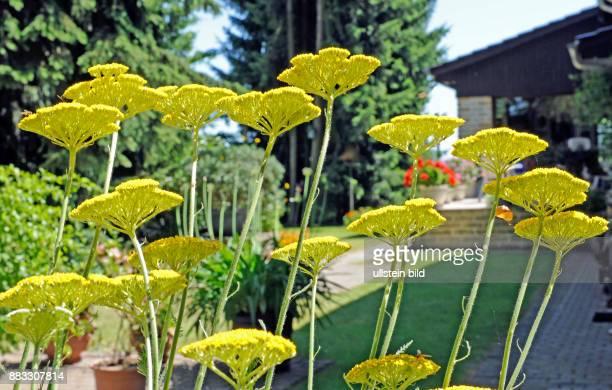 Die gelben Schirmrispen der Garbe oder Schafgarbe sind dekorative Zierstauden im sommerlichen Landhausgarten
