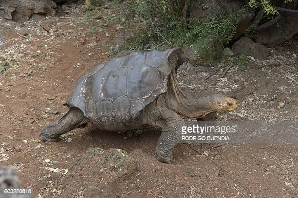 Diego a tortoise of the endangered Chelonoidis hoodensis subspecies from Española Island is seen in a breeding centre at the Galapagos National Park...