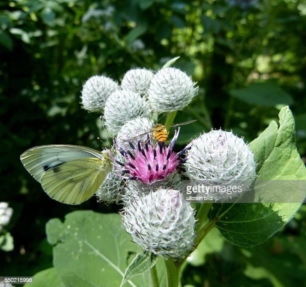 Diestel Nahrung fuer Bienen und Schmetterlinge Wald in Rahnsdorf in BerlinKoepenick
