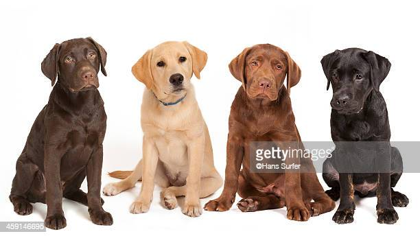 4 different colored Labrador puppys!
