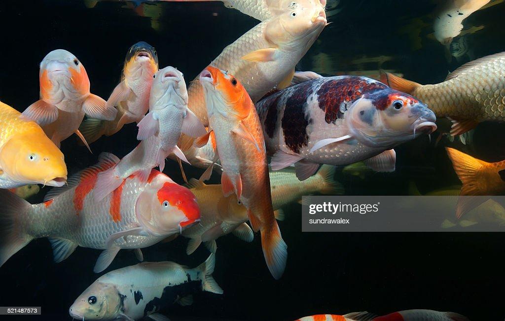 Verschiedene farbiger koifische schwimmen im aquarium for Koi im aquarium