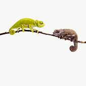 2 different coloured chameleons looking at each ot
