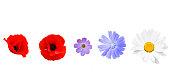 Different garden flowers isolated on white background. Poppy, cichorium, cosmos, daisy flower on white