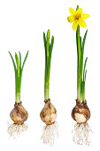 Different stages of the growth of a narcissus isolated on a white background