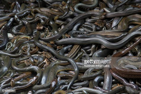 Different types of snakes are placed in a pool before being pelted on March 2 2014 in the village of Kertasura Cirebon Indonesia At slaughter house...