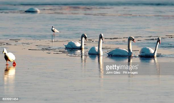 Difficult conditions for swans and a goose on a frozen lake near Castleford today as temperatures plunged overnight