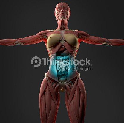 Digestión O Indigestión Muestran A Mujeres Abdomen Anatomía Modelo ...