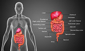In the human digestive system, the process of digestion has many stages, the first of which starts in the mouth (oral cavity). Digestion involves the breakdown of food into smaller and smaller compone