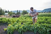 Digging up organic potatos on a farm.