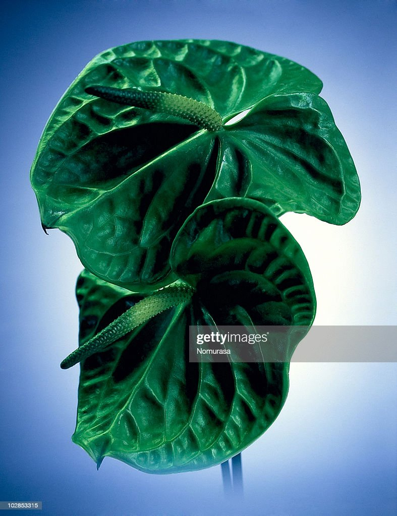 dignified anthurium : Stock Photo