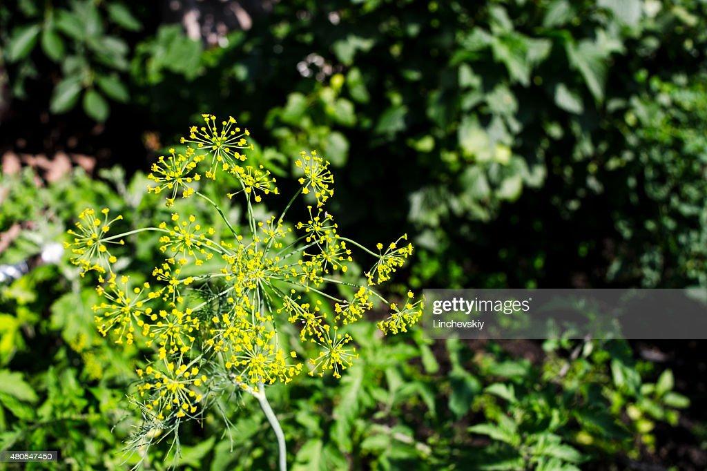 Dill flower : Stock Photo