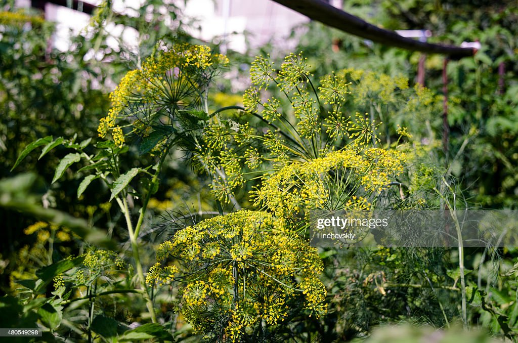 Dill flower : Stock Photo