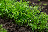 the green dill growing in a soil