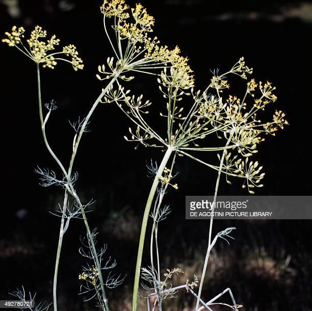 Dill inflorescences Apiaceae