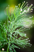 Dill Weed Covered With Dew