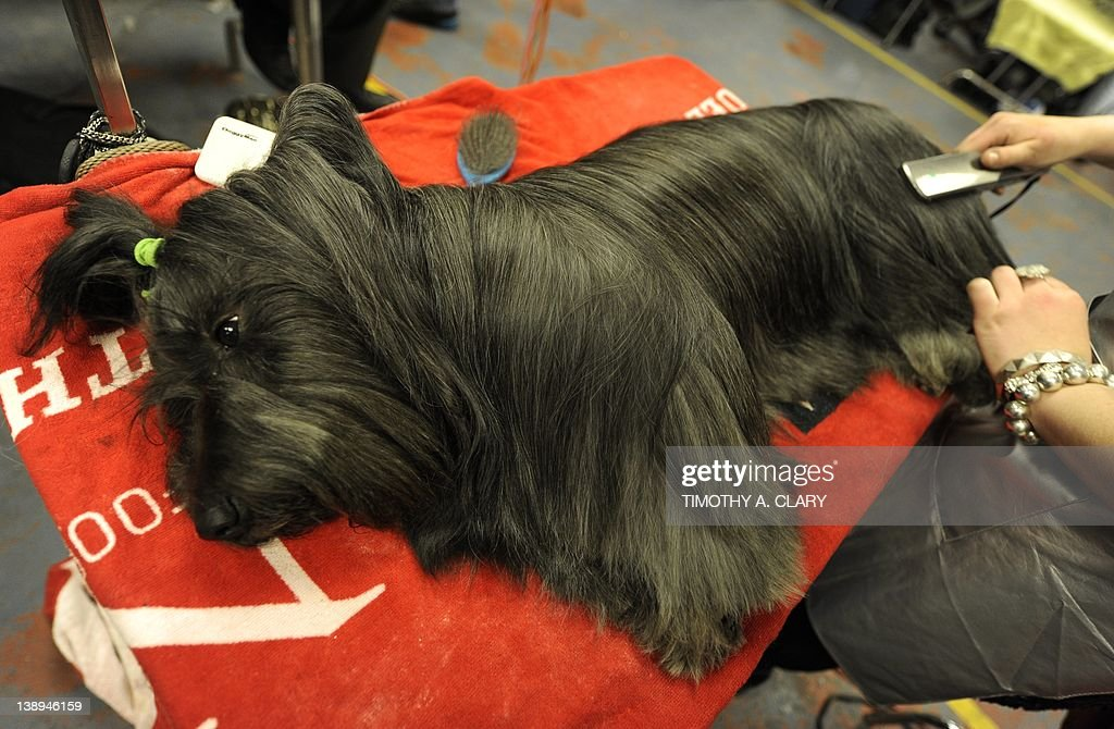 World 39 S Top Dogs Compete At Westminster Dog Show Getty Images