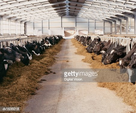 Diminishing Perspective of Cow's Heads Grazing in a Barn