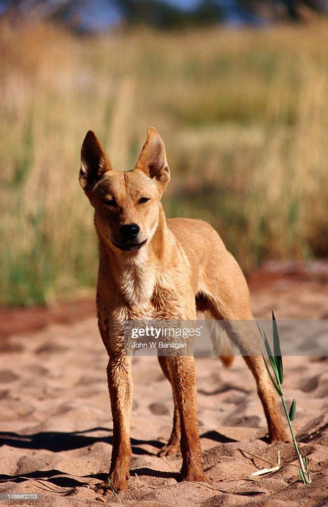Dingo in wild.