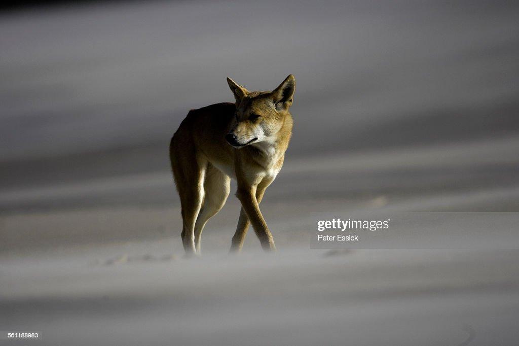 Dingo smelling for food, Tukkee Sandblow, Fraser Island, Australia.