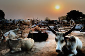 Dinka cattle herd near Wau in the South Sudan