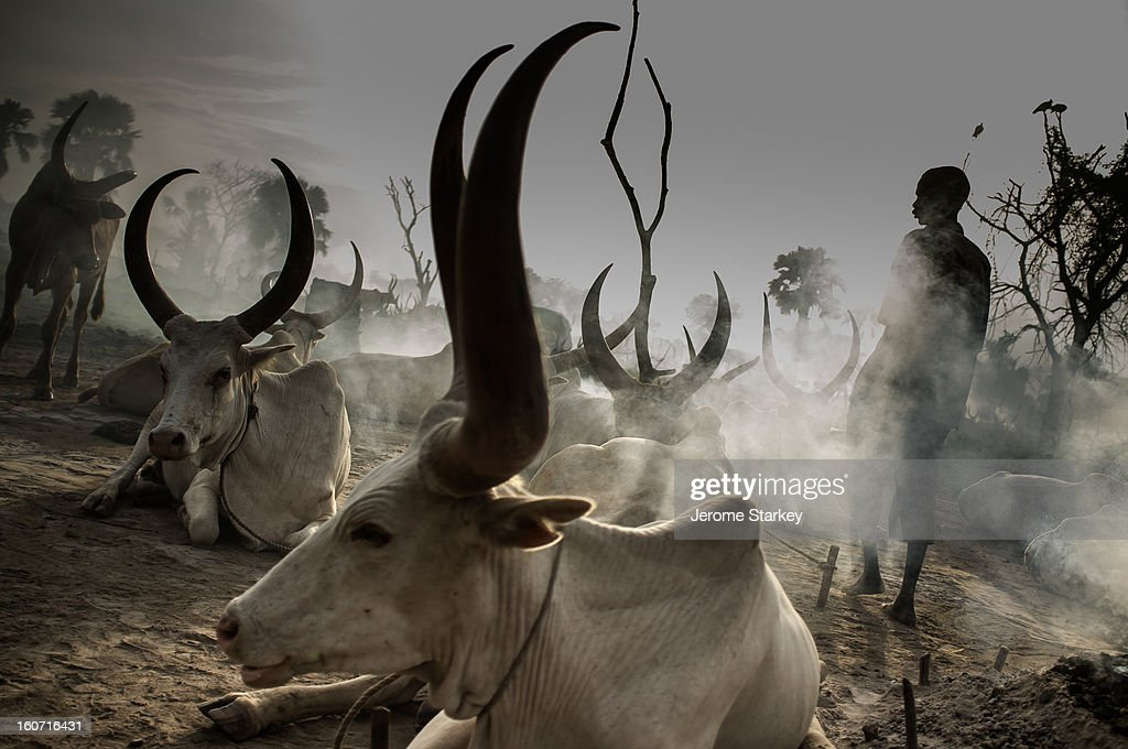 Dinka tribesman in South Sudan tends his cattle, at a temporary camp north of Rumbek, in Lakes State, Oct 26, 2012. Under customary law, cattle are used like currency to pay compensation and settle disputes. Elders and local officials said the standard fine for adultery is seven cows, to be paid by offending male.