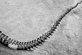 Black and white picture of a dinosaur skeleton, space for text, Dinosaur National Monument, Utah, USA.