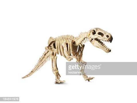 Dinosaur skeleton model isolated on white