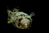 Diodon holocanthus (longspined porcupinefish, freckled porcupinefish)