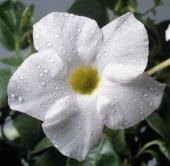 Dipladenia boliviensis or Mandevilla boliviensis Apocynaceae