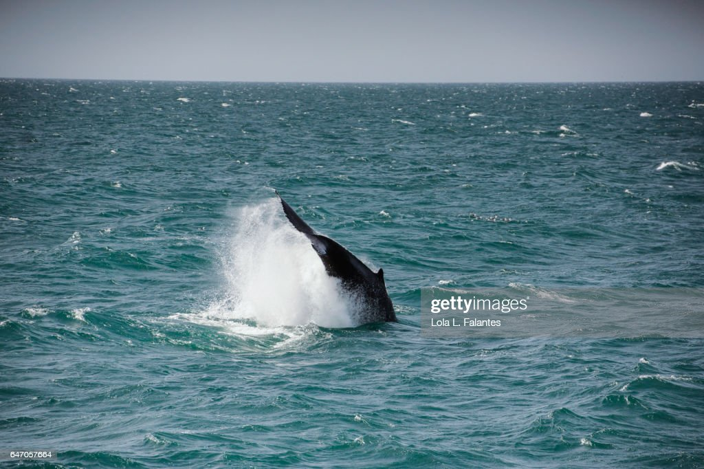 Dipping whale tail : Foto de stock