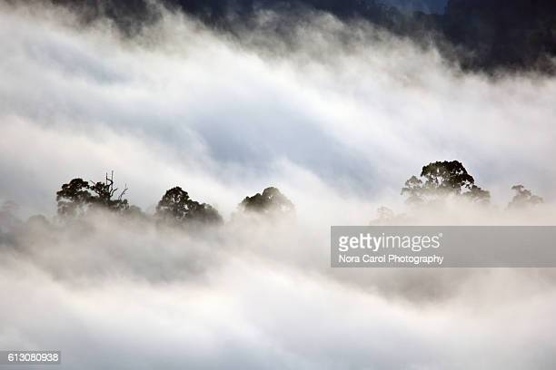 Dipterocarp trees shrouded by fog in Borneo Rain Forest.