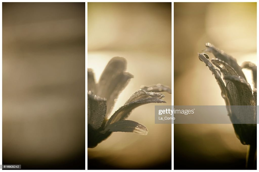 Diptych Feeling summer sunrise, morning dew on the daisy flower : Stock Photo