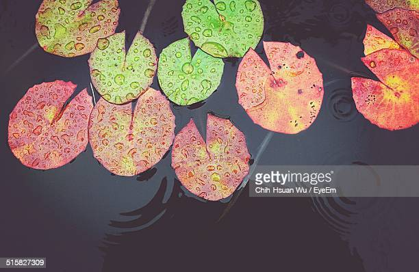 Directly Above Of Lotus Leaves Floating In River