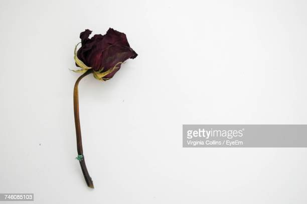 Directly Above Shot Of Dried Red Rose Over White Background