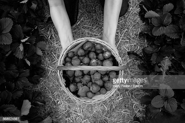 Directly Above Shot Of Person Hand Picking Strawberries Harvest In Basket